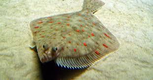 serena parker afghan hound judge the flatfish fun animals wiki videos pictures stories
