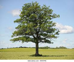 big oak tree stock photos big oak tree stock images alamy