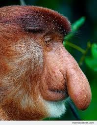 Big Nose Meme - monkey s nose by ben meme center