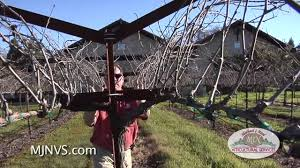 napa valley vineyard with an open trellis system youtube