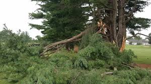 downed trees temporarily maple golf course local