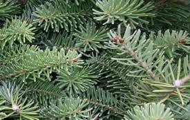 pre cut and cut your own christmas trees in the twin cities