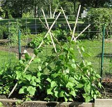 How To Grow Green Beans On A Trellis Bean Teepees Growing Beans On Teepees To Make A Kids Playhouse