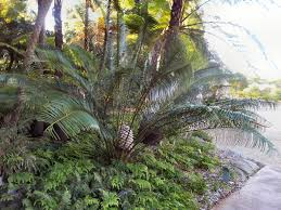 native plants of western australia australian native ferns palms and cycads gardening with angus