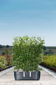 fagus sylvatica fagus sylvatica green beech readyhedge ltd