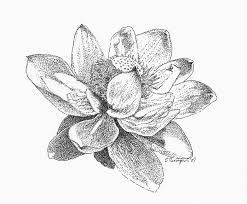 american lotus drawing by edith thompson