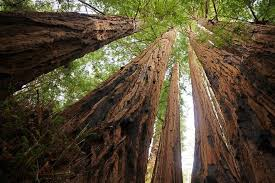 11 facts about coast redwoods the tallest trees in the world