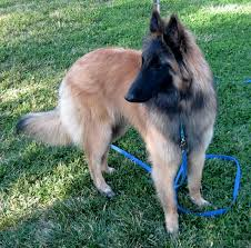 belgian sheepdog puppies for sale uk belgian tervuren for sale