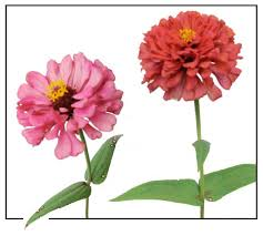 zinnia zinnia elegans youth and age philippine medicinal