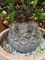 caudex of my elephant u0027s foot caudiciform and pachycaul plants