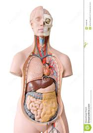 Human Anatomy Images Free Download Human Anatomy Mannequin Royalty Free Stock Image Image 14908186