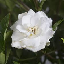 High Camp Gardenias by August Beauty Gardenia Garden Shrub Fragrant White Blooms