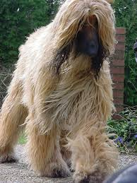 afghan hound poodle cross 5 dog breeds i would not own pethelpful