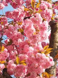 Flowering Cherry Shrub - free images tree branch flower petal bloom food spring