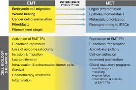 epithelial plasticity a common theme in embryonic and cancer