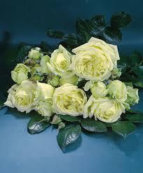 buy climbing rose u0027elfe u0027 bakker com