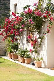 gardening 101 bougainvillea gardenista