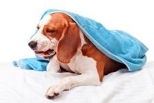 boxer dog upset stomach upset stomach in dogs canine gastritis information