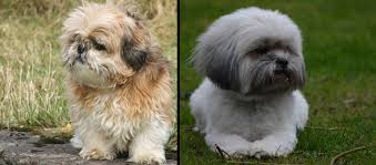what is the difference between a lhasa apso and a shih tzu