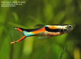 Aquascape Fish Wid Endlers U0027rare U0027 Male Only Aqua End 1 30 2019 2 15 Am