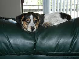 australian shepherd beagle mix dixie the beagle australian shepherd mix allmutt com