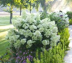 hydrangea white hydrangea paniculata bobo white flower farm