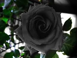 black roses the stunningly beautiful black roses of halfeti