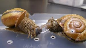 love hurts what happens when snails stab their mates
