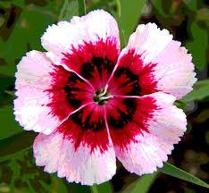dianthus flower 38 best dianthus images on beautiful flowers flowers
