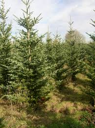 naturally shaped organic christmas trees plant something oregon