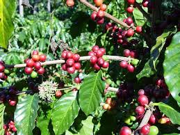 image of ripe coffee fruits