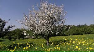 apple tree blossom switzerland hd stock 592 849 813
