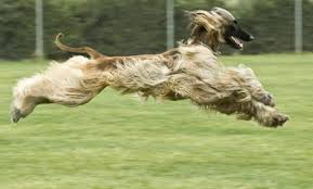 afghan hound arizona thaon