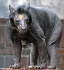 germany u0027s bald bears fur disease afflicts dolores baffles
