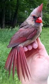 northern cardinal u2013 birds of wvwa