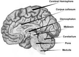 What Is The Main Function Of The Medulla Oblongata Untitled