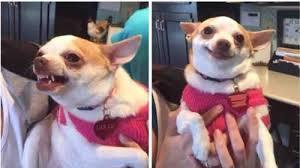 Meme Chihuahua - chihuahua meme tumblr