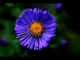 blue flower blue flower blue flower names