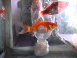 membuat filter aquarium kecil aquarium buatan sendiri youtube