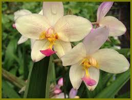 yellow orchids terrestrial ground orchid purple emerald goddess gardens