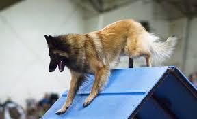 belgian tervuren 101 25 smartest dog breeds ever