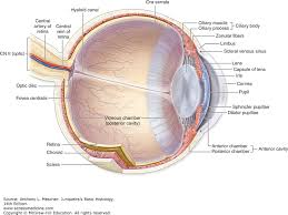 Eye Anatomy And Physiology Eye