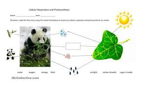 photosynthesis and respiration worksheet worksheets