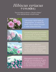 symbolizes meaning what is the meaning of pink hibiscus flowers from