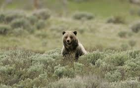 Bears Montana Hunting And Fishing - grizzly end for endangered bears in montana center for biological