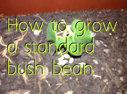 how to grow standard bush bean youtube