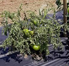 Tomato Plant Wilt Disease - master gardener tomato disease sheet giantveggiegardener