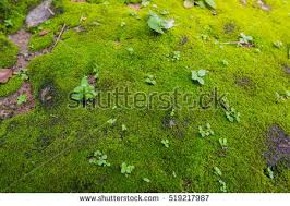 Moss Moss Texture Stock Images Royalty Free Images U0026 Vectors