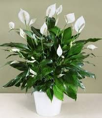 house plants low light i pinimg com 236x 37 00 51 370051dcf471031886cfc16