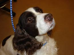 affenpinscher shaved english springer spaniel rescue of long island
